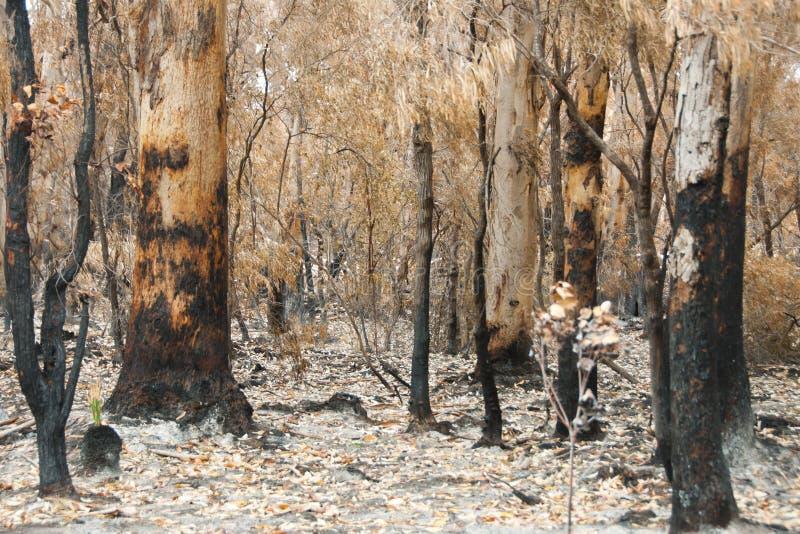 Bush Pożarniczy drzewa obraz royalty free