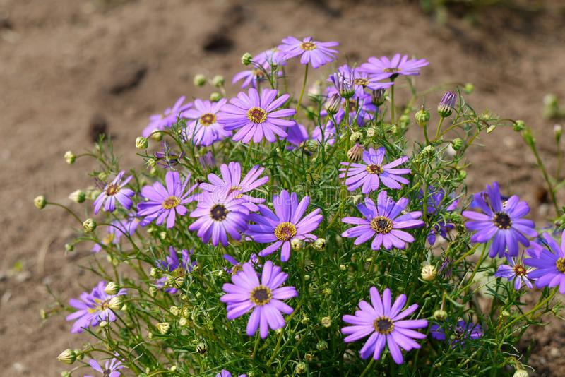 Bush of purple daisies on a blurred brown background stock photos