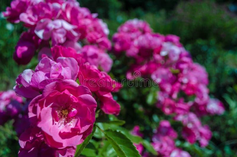 Bush puszyste różowe róże w słonecznym dniu Romantyczni florets na zamazanym zielonym liścia tle w luksusowym ogródzie Zbliżenie  fotografia stock