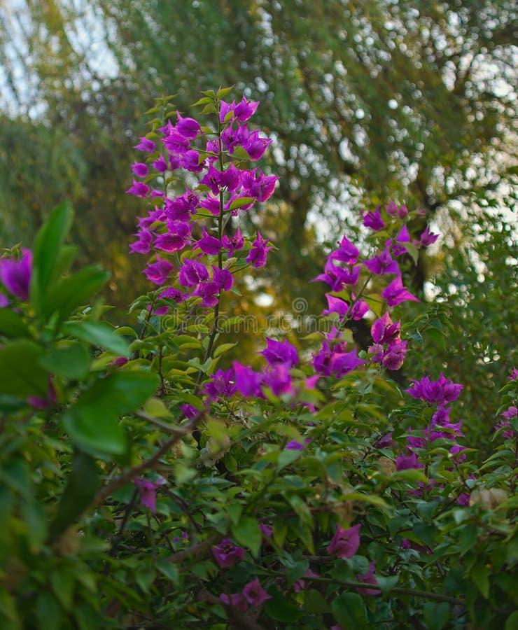 Bush que florece con la abundancia de pequeñas flores rosadas fotografía de archivo