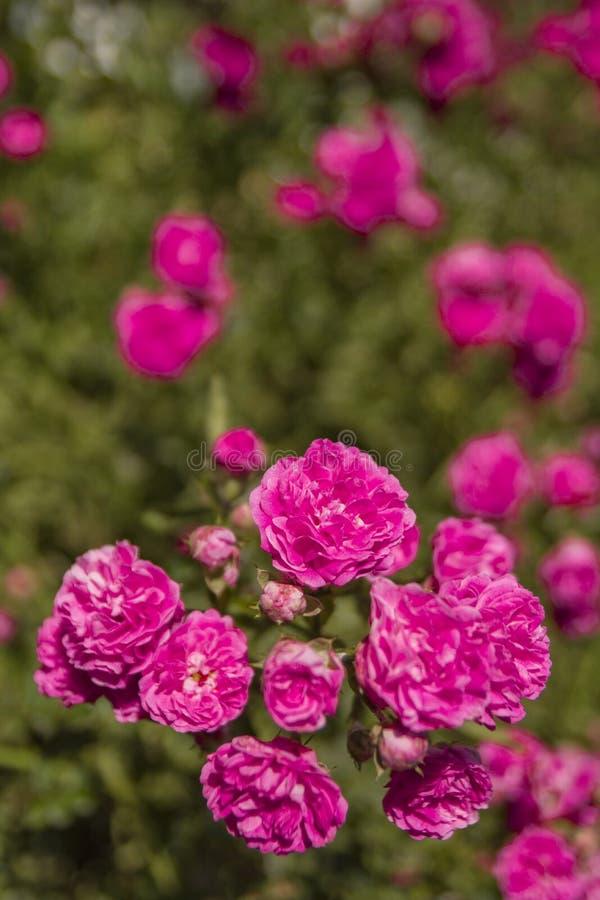 Bush różowa purpury róża w lata świetle słonecznym obrazy stock