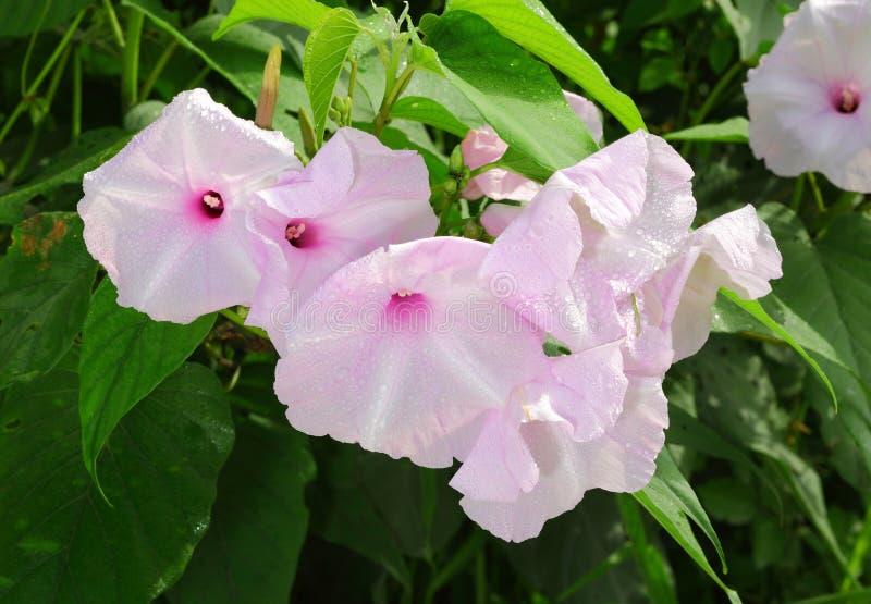 Bush Ranek Chwały kwiat fotografia stock