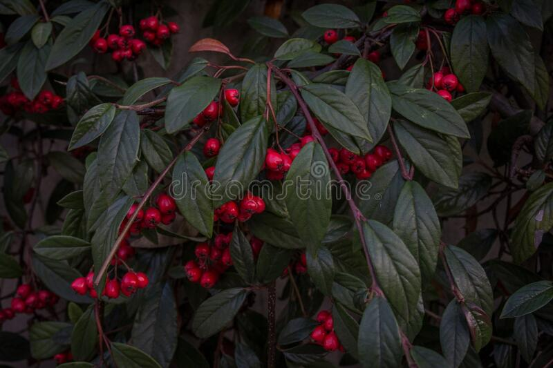 Bush with red berries stock photography