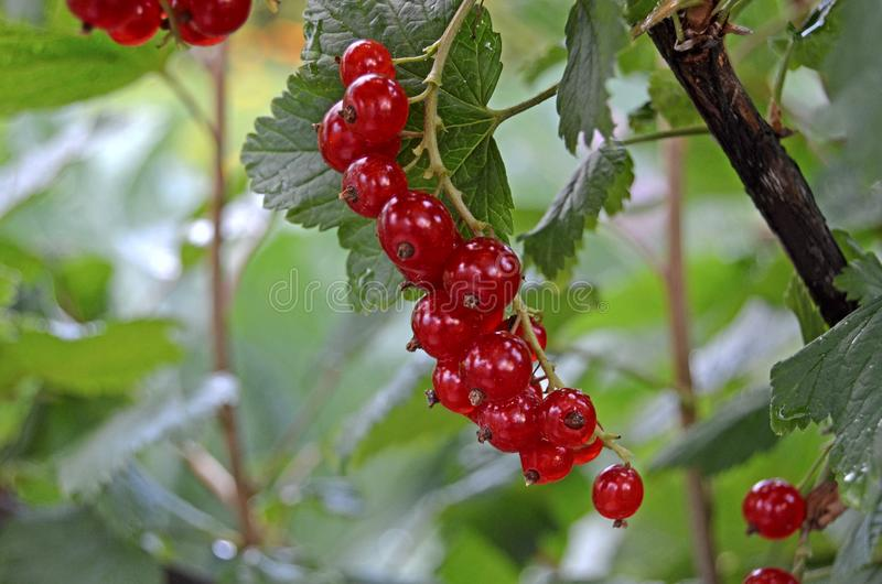 Bush red currant. Summer berries royalty free stock images