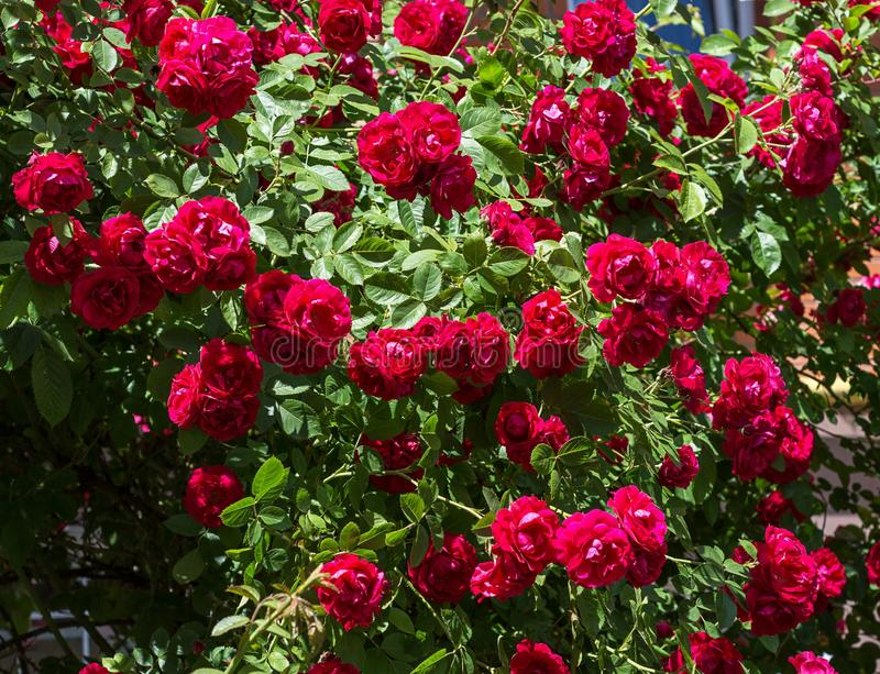 A bush of red roses blooms in the garden royalty free stock photo