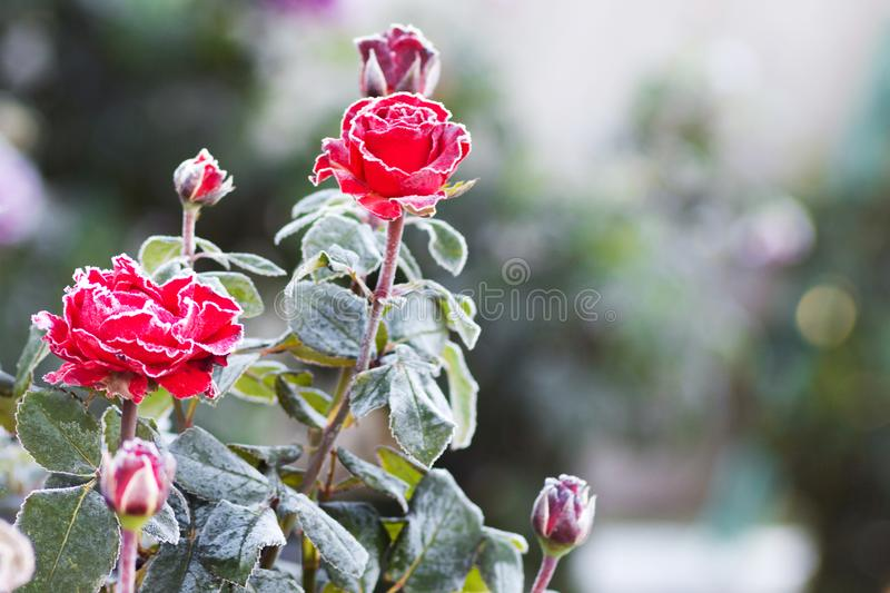 The bush of red roses is covered with frost. Frost on flowers. F. Irst Frost in the Autumn stock photography