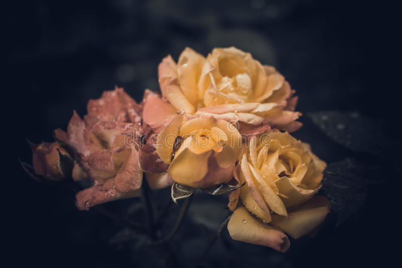 Bush red and yellow roses with dew drops in vintage colors stock images