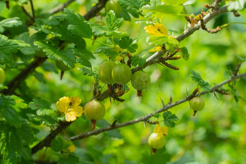Bush Ribes uva-crispa. branch with green gooseberries. selective focus. Used in medicine. royalty free stock photo