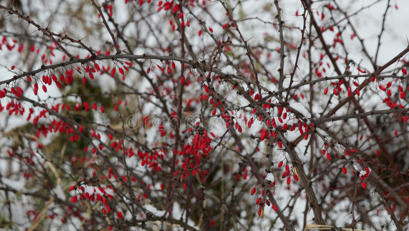 Download Bush With Ripe Berries Of A Hawthorn Stock Photo - Image: 83704691