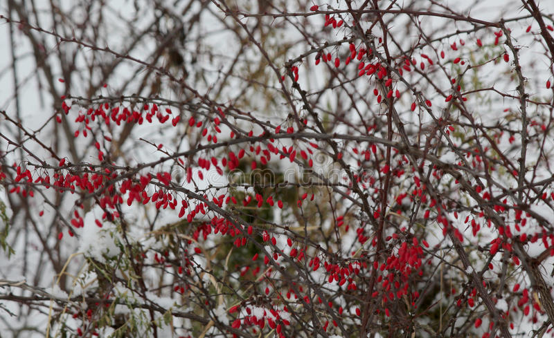 Download Barberry stock photo. Image of cloudy, snow, bush, cold - 83706268