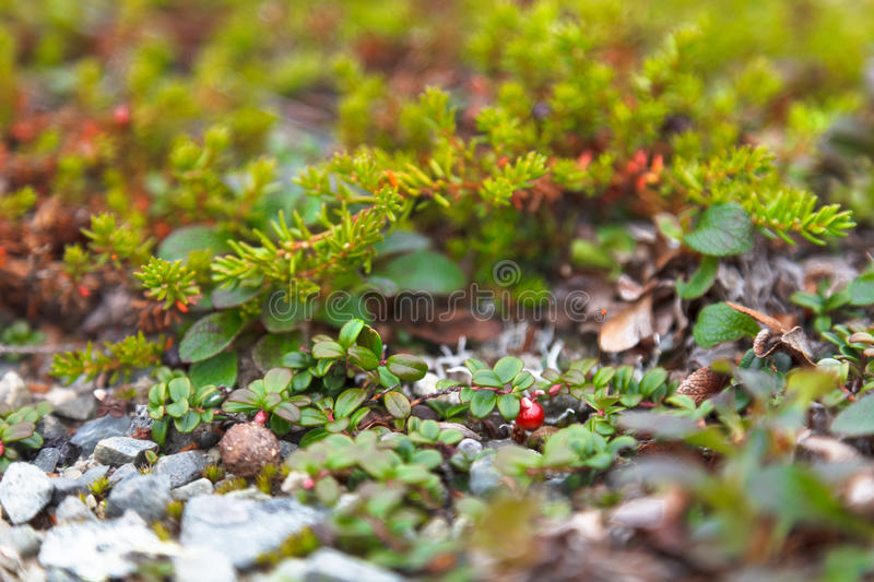 Bush of ripe forest cranberries close-up royalty free stock image