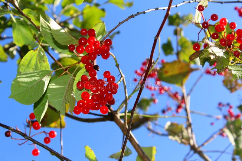 Bush ripe red berries of viburnum in the garden in the summer stock images