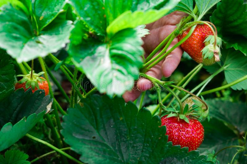 Bush of ripe red strawberries in the summer forest royalty free stock photography