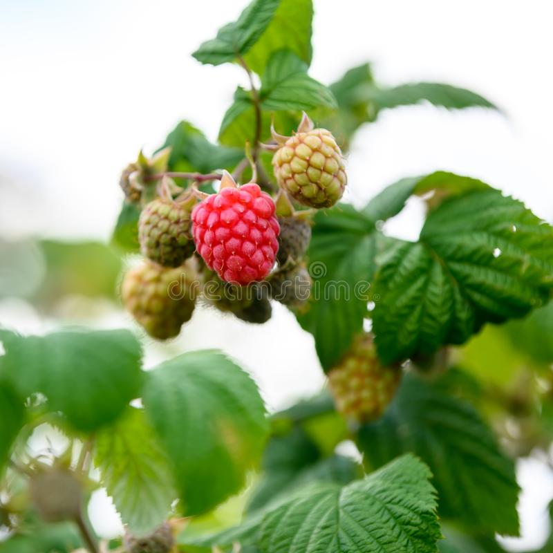 Ripening raspberries on bush in summer. Closeup of raspberries in different stadium of vegetarien growth stock photos