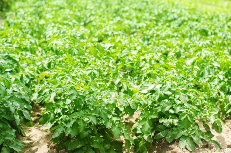 Bush roślina młody kartoflany dorośnięcie w polu, uprawia ziemię, rolnictwo, warzywa, życzliwi produkty rolni, agroindustr zdjęcie stock