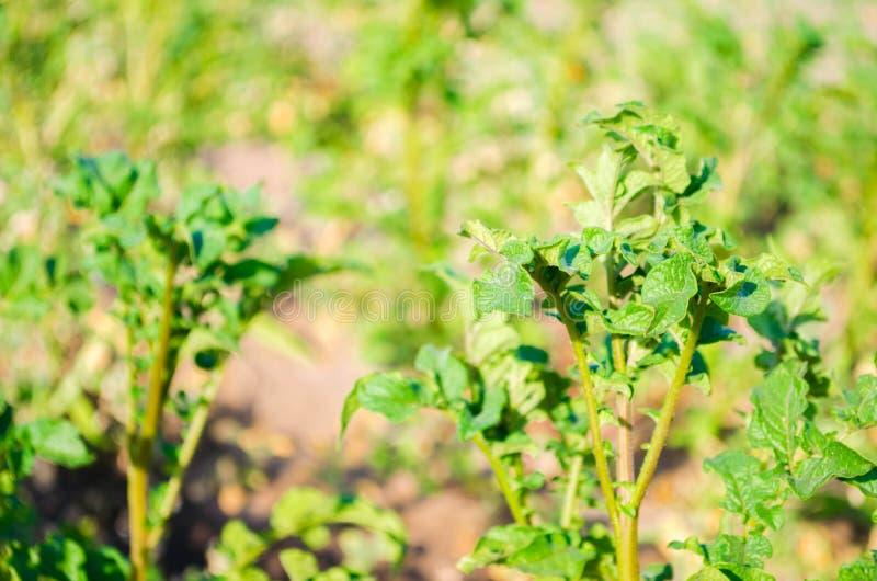 Bush roślina młody kartoflany dorośnięcie w polu, uprawia ziemię, rolnictwo, warzywa, życzliwi produkty rolni, agroindustr fotografia royalty free