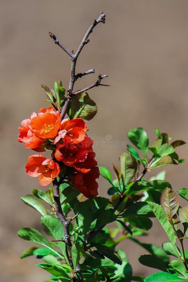 Bush rojo floreciente en primavera Cierre para arriba El membrillo japonés fotografía de archivo libre de regalías
