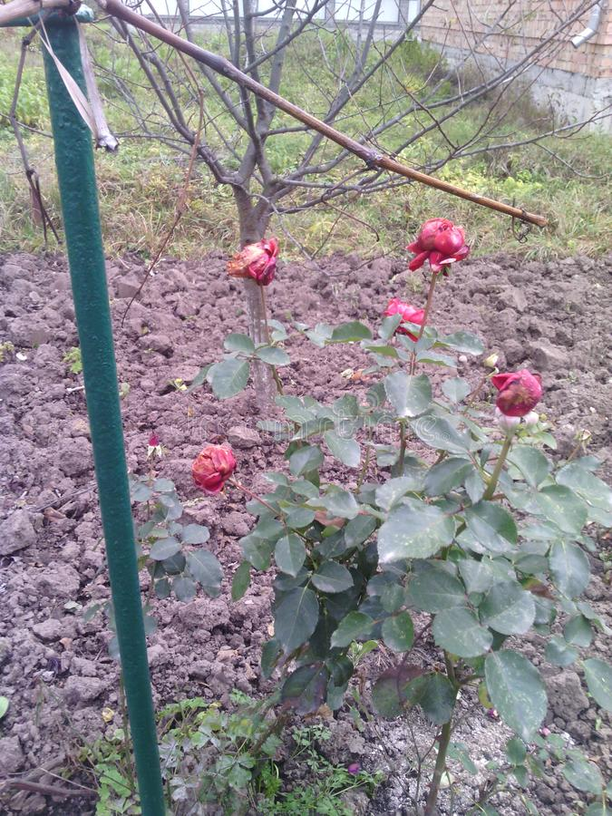 Bush rose. Green leaves and red flowers. Plum tree. Plowed land. Iron rod. Summer day. royalty free stock photo