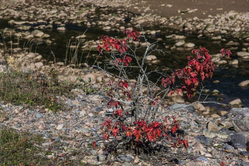 Bush rouge sur la rive photos stock