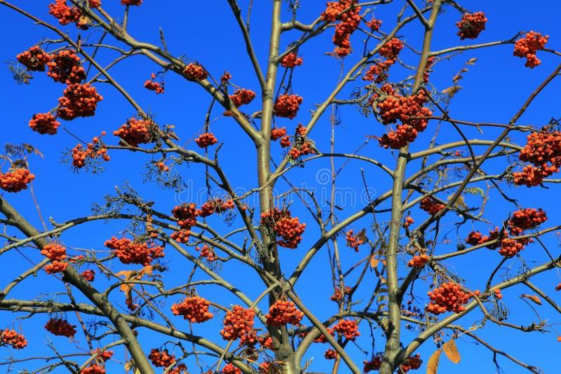 The bush of a rowan. stock images