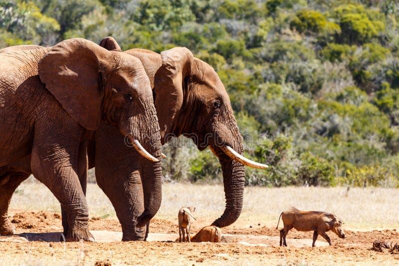 Bush słonie goni warthogs zdjęcia stock