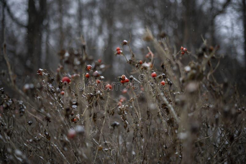 Bush s'est lev? beaut? rouge de baies de neige d'hiver de fille photo stock