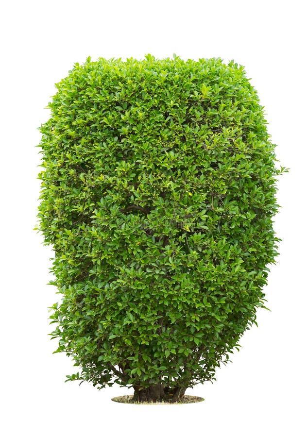 Bush or shrubs isolated. On white background royalty free stock image