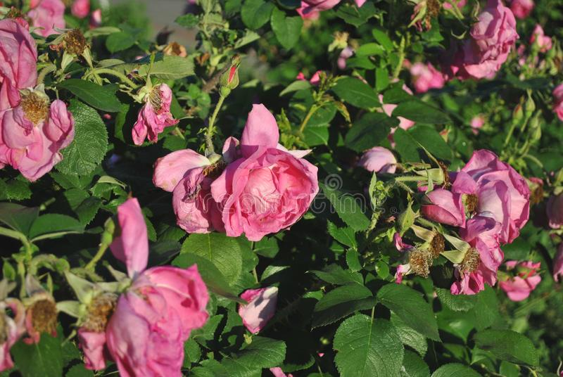 Bush with sluggish pink roses flowers, soft blurry background royalty free stock photography