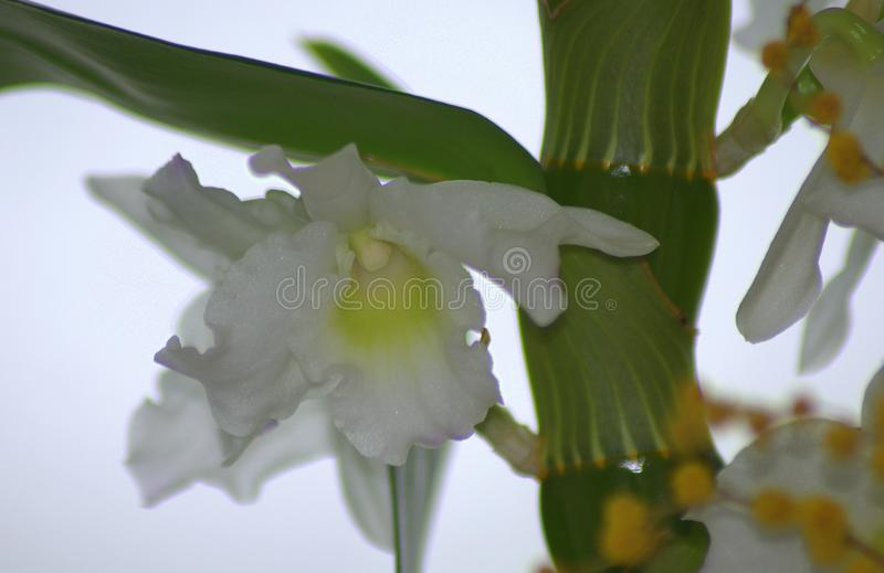 A bush with small yellow flowers, in the background a bud of white orchid. Macro stock photography