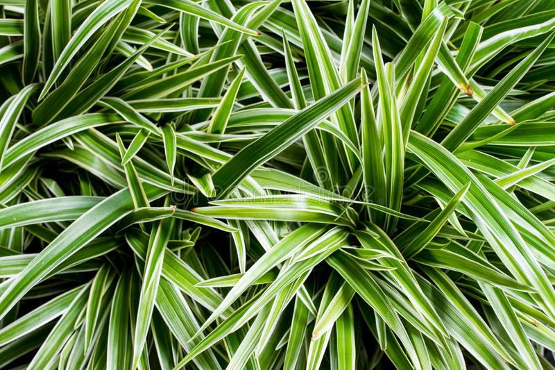 Bush of Spider plant Chlorophytum. royalty free stock image