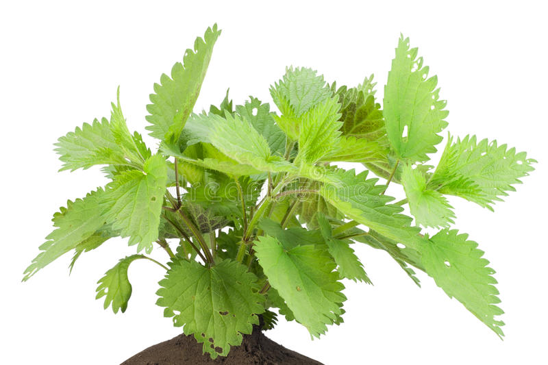 Download Bush Of A Stinging European Nettle Stock Photo - Image: 19460650