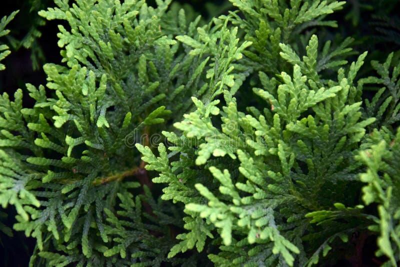 Bush tuj occidentalis jest wiecznozielonym iglastym drzewem w cyprysowej rodzinie Tui tła wzór fotografia royalty free