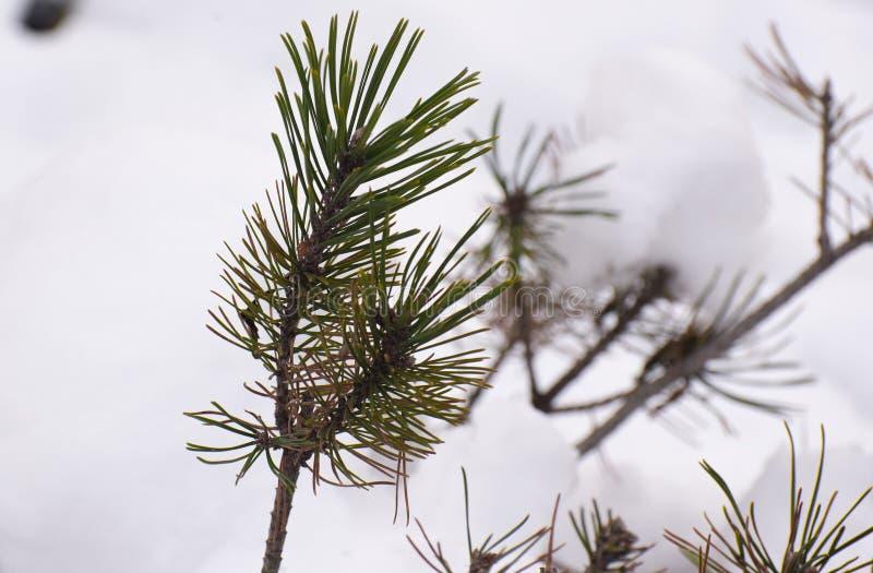Bush unter einem Schnee stockfoto