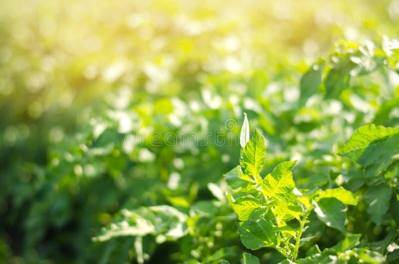 Bush växt av den unga potatisen som växer i fältet, lantbruk, jordbruk, grönsaker, eco-vänskapsmatch jordbruksprodukter, agroindu royaltyfria foton