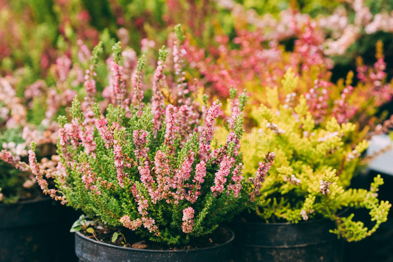 Bush van Calluna-Installatie met Roze Bloem in Pot in Opslagmarkt royalty-vrije stock fotografie