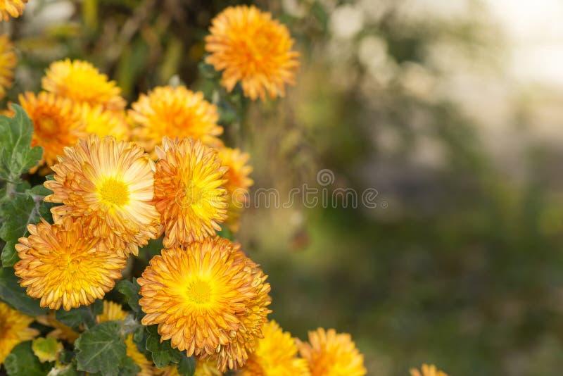 Bush van kleine oranje chrysanten in de de herfsttuin royalty-vrije stock afbeelding