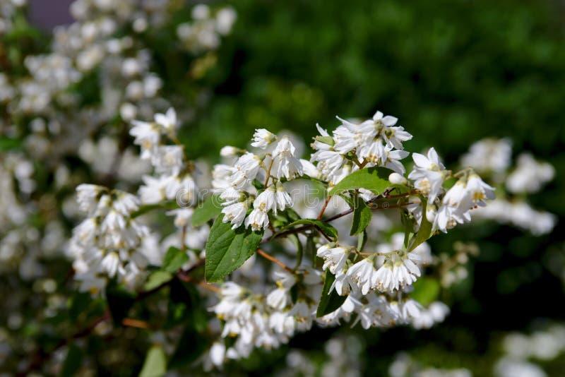 Bush van mooie witte bloemen stock afbeeldingen