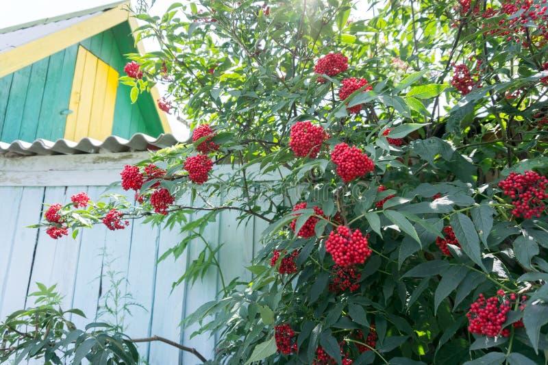 Bush van racemosa van Vlierbes rode Sambucus groeit dichtbij een houten omheining op de achtergrond van een dorpshuis stock fotografie