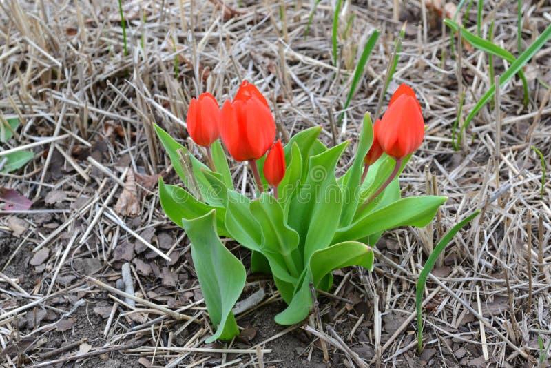 Bush van rode kleine tulpen met groene bladeren stock fotografie
