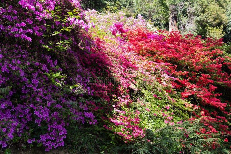 Bush van rododendrons en azalea's stock afbeelding