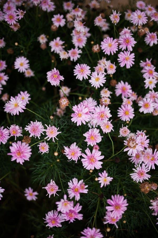 Bush van roze en purpere bloemen stock afbeelding