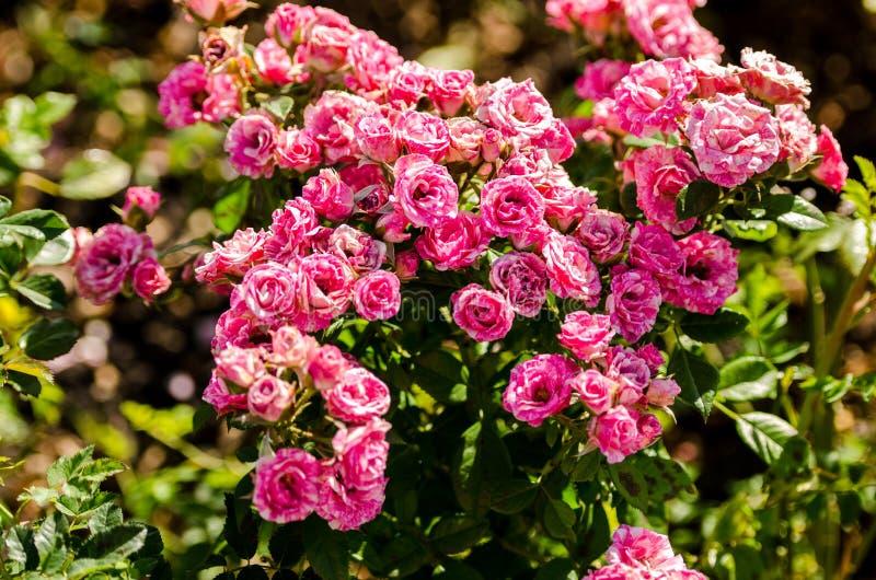 Bush van roze rozen stock afbeelding