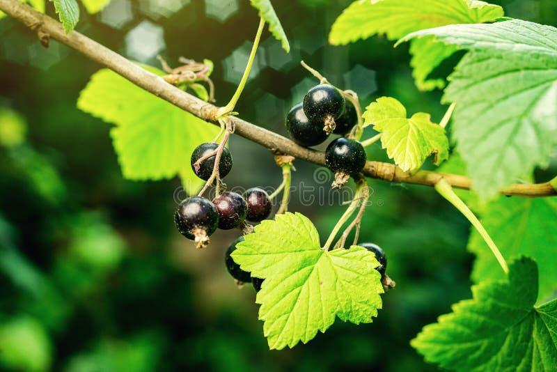 Bush van zwarte bes het groeien in een tuin Achtergrond van zwart Cu royalty-vrije stock foto's