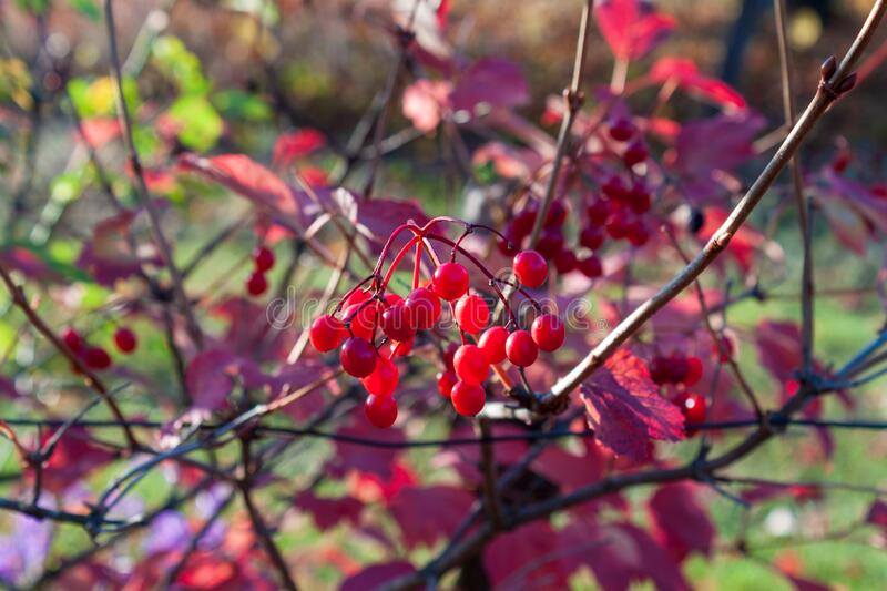 Bush of viburnum at sunset on a clear day stock photo