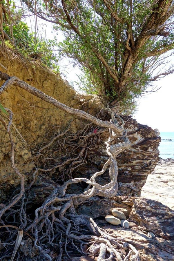 Bush vivant a érodé les racines exposées sur la falaise photo stock