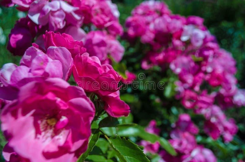 Bush von flaumigen rosa Rosen am sonnigen Tag Romantische Florets auf unscharfem grünem Blatthintergrund im Garten Schließen Sie  lizenzfreie stockfotos