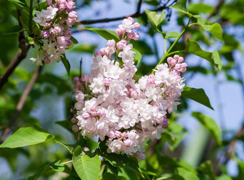 Bush von hellen weißen und rosa Terry-Fliedern, Blumensträuße in voller Blüte auf einer Niederlassung stockfotos