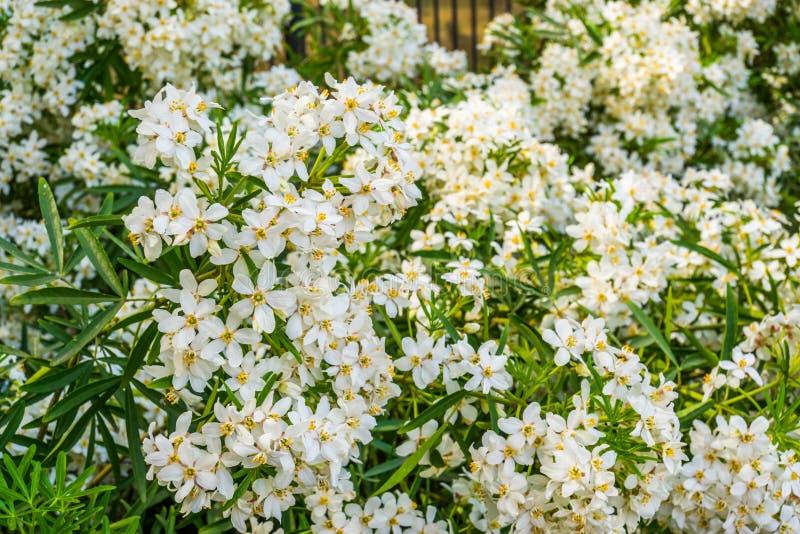 Bush von mexikanischen orange Blütenblumen, weiße aromatische blühende Pflanze von Mexiko, populäre tropische Kulturpflanze lizenzfreie stockfotografie