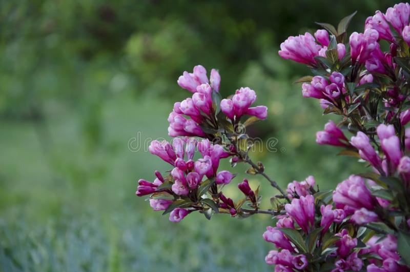Bush von schönen purpurroten Blumen lizenzfreies stockbild