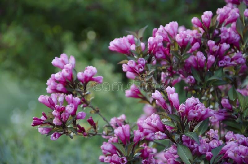 Bush von schönen purpurroten Blumen lizenzfreie stockfotos